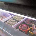 人工照明で多肉植物は徒長せずに育つのか検証
