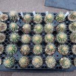 培養土の違いによって冬季のサボテン栽培に差が出る