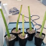 多肉植物用の土と観葉植物用の土の成長の違い