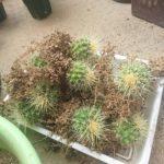 サボテンの培養土と肥料についての実験2016