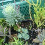 雨風、灼熱、台風に負けない美しき多肉植物たち