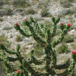 Austrocylindropuntia subulata | Frigiliana, Andalusia, Spain… | Flickr