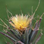 By Dornenwolf from Deutschland - Leuchtenbergia principis - Prismenkaktus, CC BY 2.0, Link