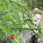 By Jim Conrad - JIM CONRAD'S NATURALIST NEWSLETTER. Written in Sabacché and issued from aciber in nearby Tekit, Yucatán, MÉXICOhttp://www.backyardnature.net/n/08/080825.htmhttp://www.backyardnature.net/n/08/080825cc.jpg, Public Domain, Link