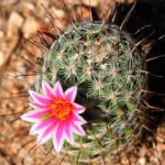 By Steve Evans from Citizen of the World - Arizona Desert Cactus Flower, CC BY 2.0, Link