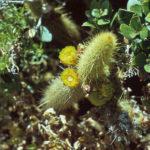 By R. Mitchel Beauchamp - R. Mitchel Beauchamp/California Native Plant Society, CC BY-SA 2.5, Link
