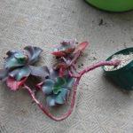 大型エケベリアの花芽挿しの植え替え