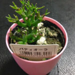 謎の100円多肉植物パティオ―ラの花が咲く