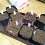 サボテンの発芽条件について(光と温度)