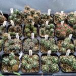 サボテン実生苗の成長の差