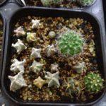 サボテン実生苗は密植したほうがよく育つ?