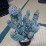 ホーディア・ユッタエ(Hoodia juttae)の成長