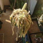 紐サボテンの土と吊り鉢