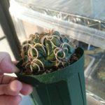 植え替えたサボテンが水を吸わない!