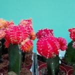サボテンは水耕栽培のほうが大きく早く育つ説