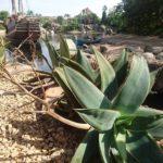 ディズニーシーの植物たち(多肉植物編)