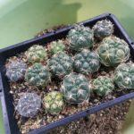 サボテンの植え替え時期について。まずはギムノカリキウムから始まる!