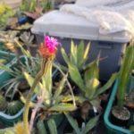 激レア映像!Arrojadoa penicillataの開花動画