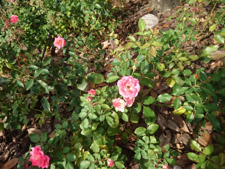 ディズニーシーの植物