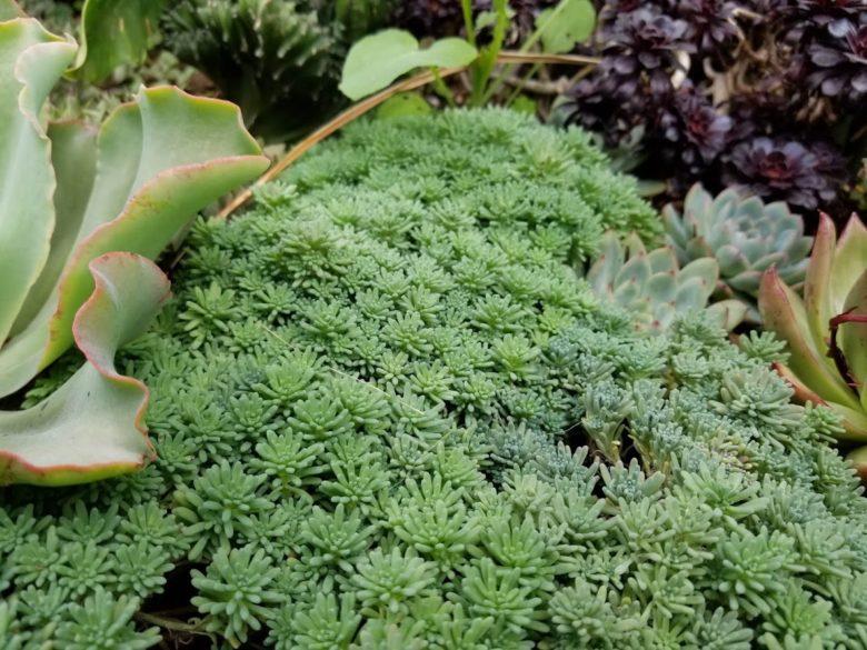 ディズニシーの多肉植物