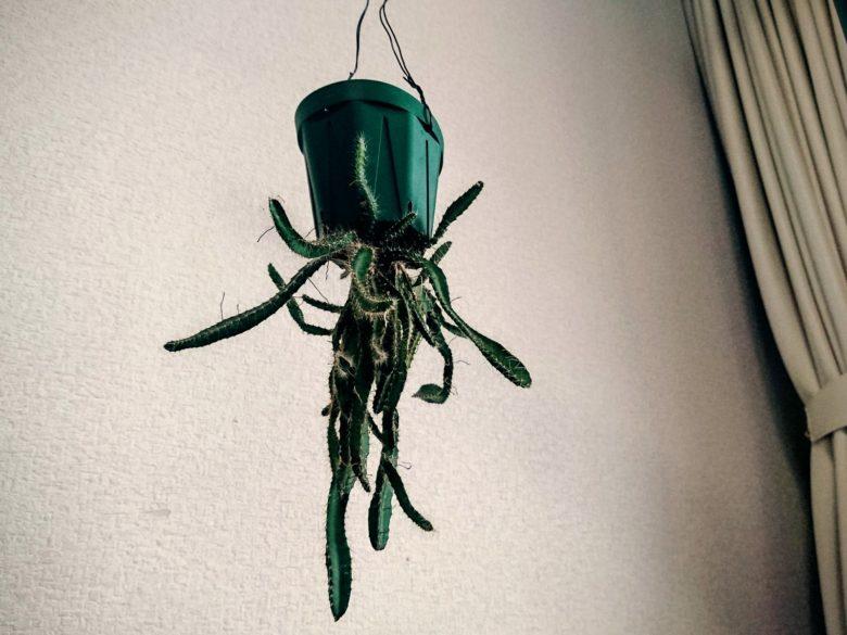 サボテンの吊り鉢