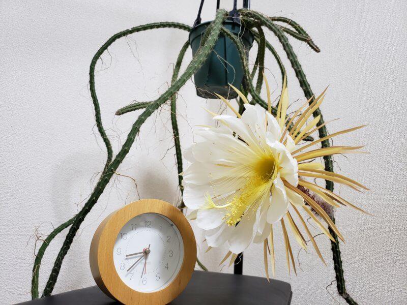 Selenicereus hondurensis