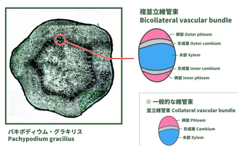 bicollateral vascular bundle